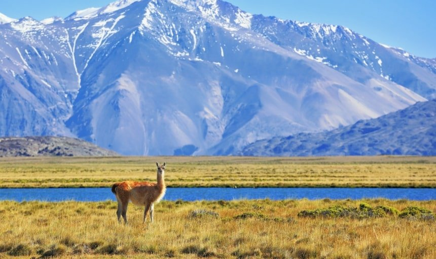 Argentine Patagonia. Yellow field, blue lake and snow-capped mountains. On the banks of grazing llama. Perito Moreno National Park