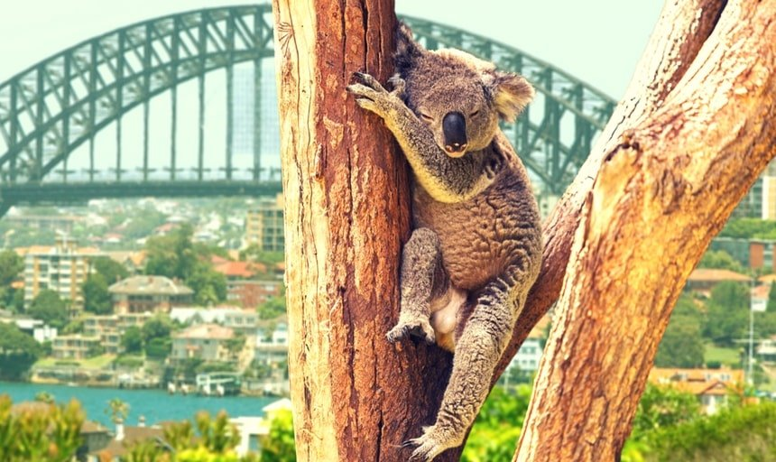 Koala in a tree with Sydney harbour in the background
