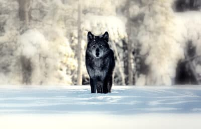 Sigma Male Lone Black Wolf in Snow Blurred Background