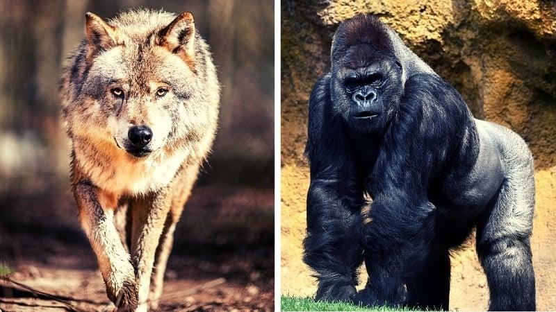 Sigma vs Alpha Male Lone Wolf vs Gorilla