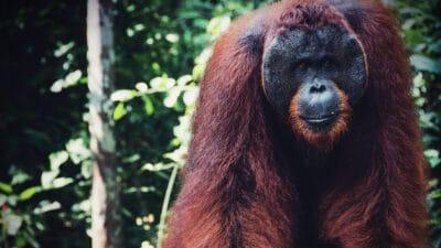 Alpha Male Orang Utan in Forest