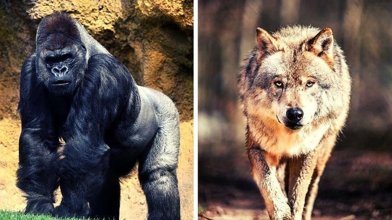 Alpha Male vs Sigma Male  Gorilla vs Lone Wolf